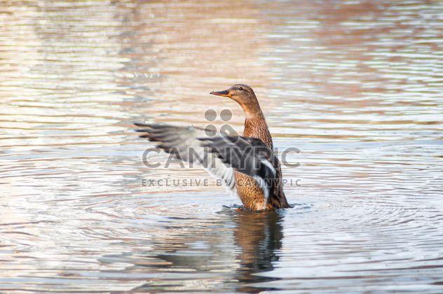 Canard sauvage sur le lac - image gratuit(e) #273175