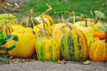Ripe pumpkins in garden - image gratuit #273215