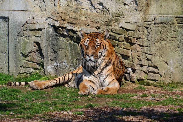 Тигр в парке - бесплатный image #273615