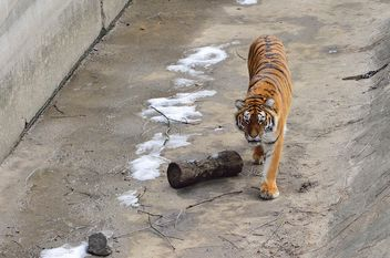 Ussuri tiger - image #273625 gratis