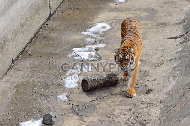 Уссурийский тигр - бесплатный image #273625