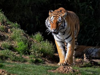 Tiger in Park - image #273645 gratis