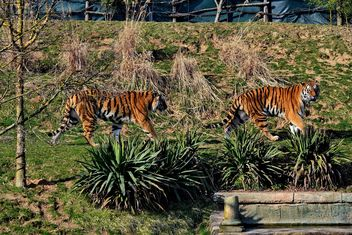 Tigers in Park - image #273655 gratis