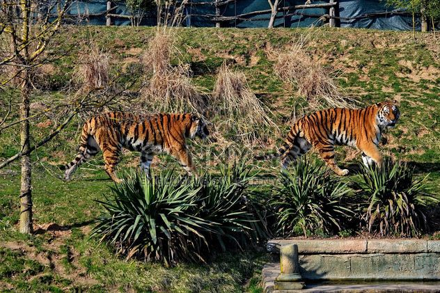 Tigers in Park - Free image #273655