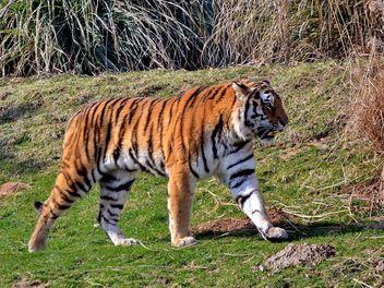 Tiger - Free image #273665