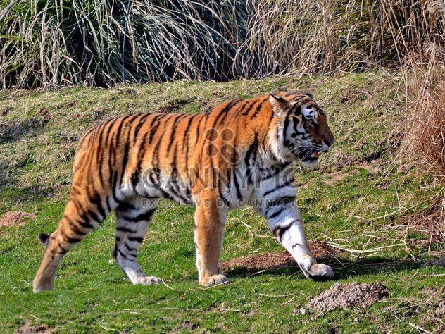 Tigre - Free image #273665