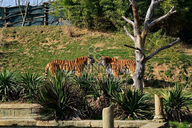 Тигры в зоопарке - бесплатный image #273675