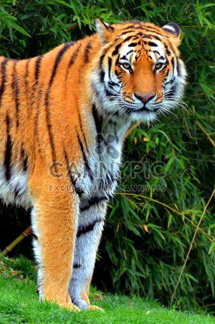 Tigre - image gratuit #273685