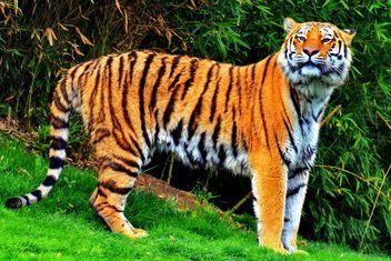 Tiger - image gratuit #273725