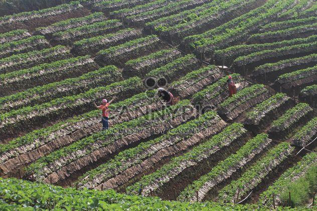 champs de fraises - image gratuit(e) #273805
