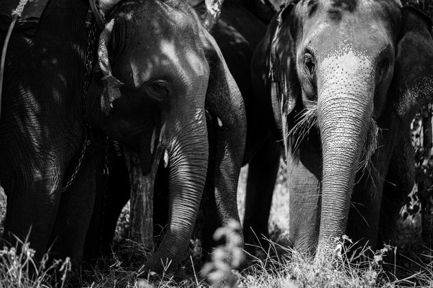 Asia elephants in Thailand - image #274915 gratis