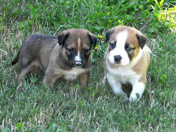 Puppies - image #275365 gratis