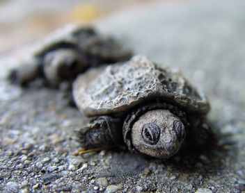 March of the Baby Turtles - Free image #275415