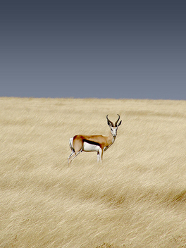 Springbok, Etosha National Park - image gratuit #275485