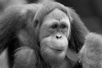 Hello, Human... (SINGAPORE ZOO/ORANGUTAN/ANIMALS/GREETING) XIII - Free image #275665