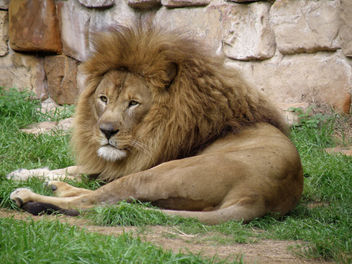 Lazy Lion - image #275755 gratis