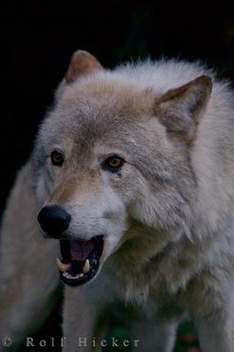 timber-wolf_28381 - image #275775 gratis