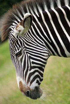Zebra - Free image #275795