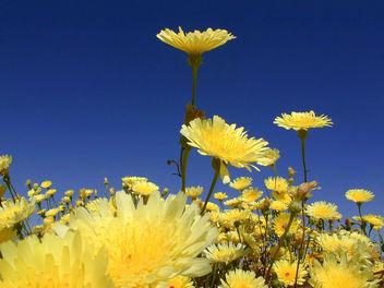 Desert Dandelion - image #275895 gratis