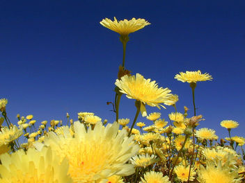 Desert Dandelion - Kostenloses image #275895