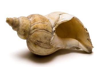 Seashell - Kostenloses image #276185