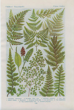 british ferns - image gratuit #276405