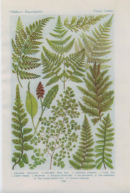 british ferns - image #276405 gratis
