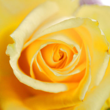 Roses are yellow II - image #276415 gratis