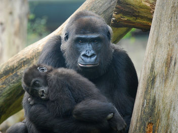 Mother and baby gorilla - image #276715 gratis