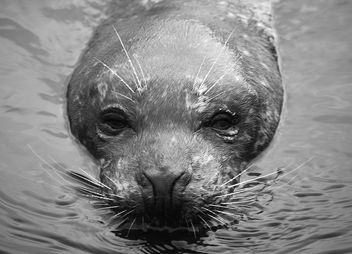 Seal in B&W - Free image #276745