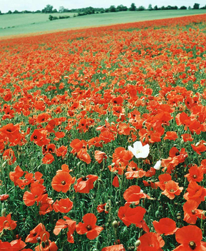 Single White Poppy - Kostenloses image #276795