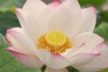 Lotus - бесплатный image #276815