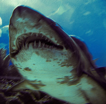 Tiger Shark! - image gratuit #276995