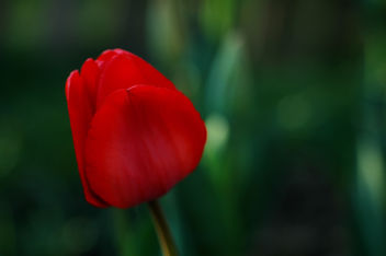 Tulip - image gratuit #277005