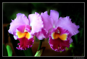 Huntington's Orchids - Free image #277015