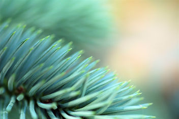Blue Spruce - Kostenloses image #277115
