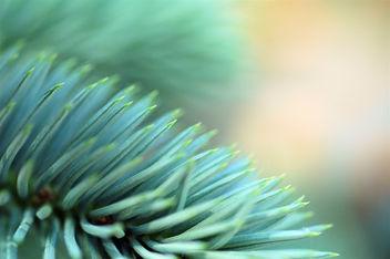 Blue Spruce - бесплатный image #277115