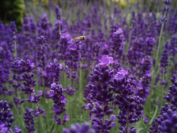 Flying Over Lavender - image gratuit(e) #277215