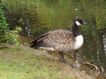 One Goose - image #277335 gratis