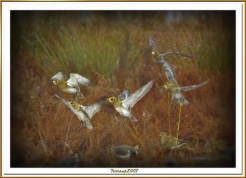 daurades grosses en vol 01 - chorlitejos dorados - eurasian golden plover - pluvialis apricaria - Free image #277725