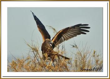 arpella vulgar 30 - aguilucho lagunero - marsh harrier - circus aeruginosus - Free image #277815