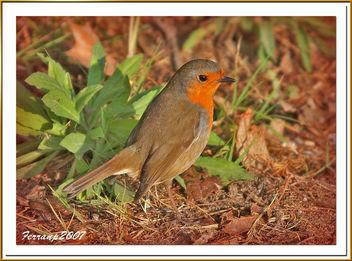 pit-roig 03 - petirrojo - robin - erithacus rubecula - Free image #277835
