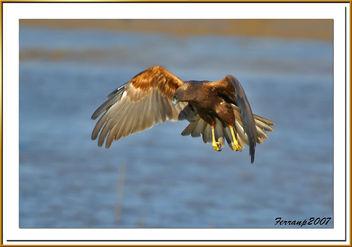 arpella vulgar 18 - aguilucho lagunero - marsh harrier - circus aeruginosus - Free image #277885