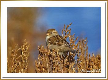 pardaleta - gorrioncilla - house sparrow - passer domesticus - бесплатный image #277905