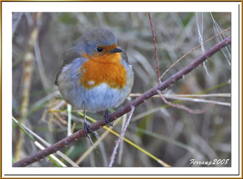 pit-roig 06 - petirrojo - robin - erithacus rubecula - Free image #277915