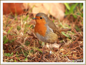 pit-roig 08 - petirrojo - robin - erithacus rubecula - Free image #278005
