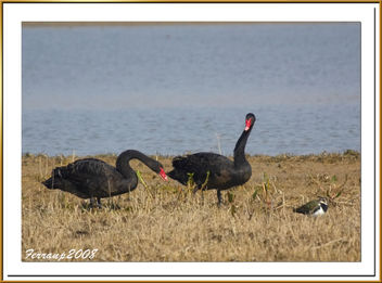 pareja de cisnes negros 08 - Black Swan - cygnus atratus - image gratuit #278025