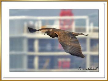arpella vulgar 35 - aguilucho lagunero - marsh harrier - circus aeruginosus - Free image #278045