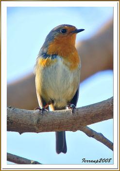 pit-roig 09 - petirrojo - robin - erithacus rubecula - Free image #278055