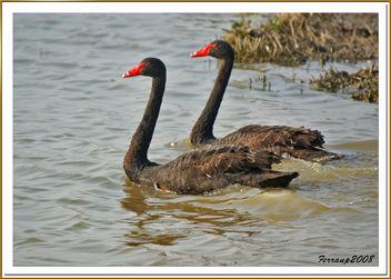 cisnes negros 07 - black swan - image gratuit #278085